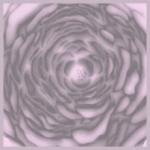 Midsummer rose - růžová