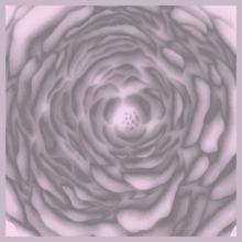 Midsummer rose - růžová LUMOUS design